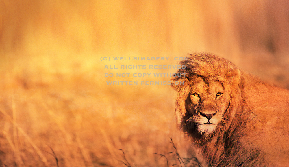 Image of a male lion (panthera leo) portrait at the Masai Mara National Reserve in Kenya, Africa by Randy Wells