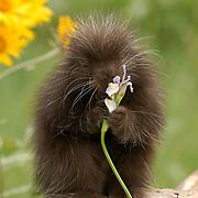 Porcupine (Erethizon dorsatum) baby in a meadow. Captive Animal