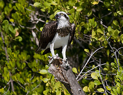 An osprey (Pandion haliaetus cristatus) with a fresh catch from the Hunter River, on the Kimberley coast, Western Australia.  Taken from an aluminium rib tender to the vessel Odyssey.  Hand held.