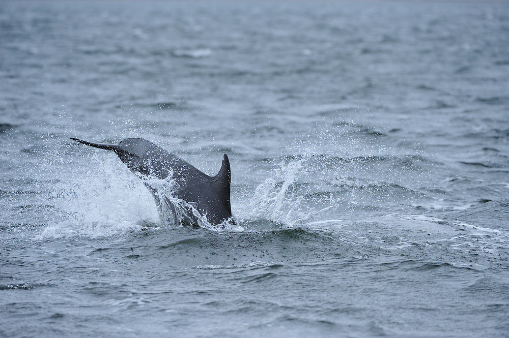 Bottle-nosed Dolphin breaching,<br /> Tursiops truncatus,<br /> Moray Firth, Nr Inverness, Scotland - April