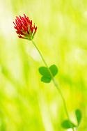France, Languedoc Roussillon, Gard (30), Cevennes, fleur de trèfle incarnat, N.L.: Trifolium incarnatum, (Fabacées)