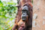 A close-up portrait of a female orangutan (Pongo pymaeus) leaning against a tree limb, Tanjung Puting National Park, Central Kalimantan, Borneo, Indonesia