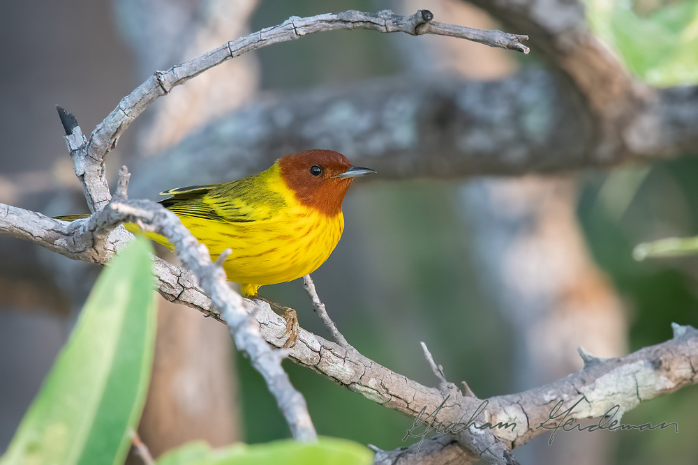 A Mangrove Warbler - one of the many subspecies of Yellow Warbler. This one is the subspecies of the Pacific coast of Costa Rica. An adult male, showing its unique chestnut head.