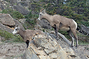 bighorn Sheep ewes (female) on a rocky cliff.(Ovis canadensis).Jasper National Park, Canada..