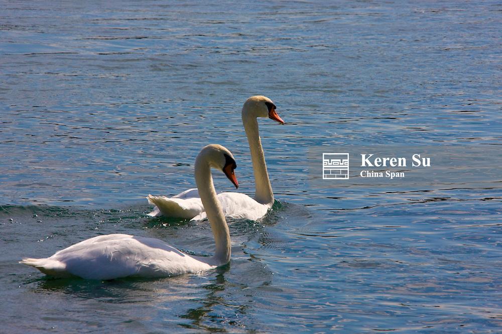 Swan on Lake Geneva, Geneva, Switzerland