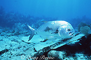 permit, Trachinotus falcatus, Key Largo, Florida Keys National Marine Sanctuary, Florida, USA ( Western Atlantic Ocean )