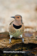 01193-013.08 Northern Flicker (Colaptes auratus) female at water, Marion Co. IL