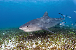 A Tiger Shark, Galeocerdo cuvier, cruises over a seagrass bed, accompanied by a school of blue runners. Little Bahama Bank; Bahamas; Atlantic Ocean
