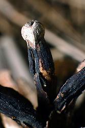 18 April 2007: Macro shots of dried pine cone