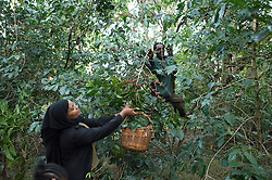 Awol Abagojam, his son Isaac and his neighbor Ramla and her daughter Siam pick cherries from what is beleived to be the original ancestral coffee tree in the village Choche, in Jimma, (once the capital of the region known as Kaffa) .  Coffee permeates the cultural fabric of Ethiopian life and it unites the country. It binds the many different ethnic groups together, Christian or Muslim, rich or poor. An elaborate extension to Ethiopia's warm sense of hospitality, the coffee ceremony is a daily social ritual to honour the importance of the bean, and strengthen human bonds.