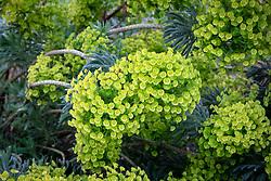 Euphorbia characias subsp.wulfenii 'BQ'