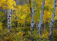 Intimate photograph of aspen grove in autumn color, Colorado, USA