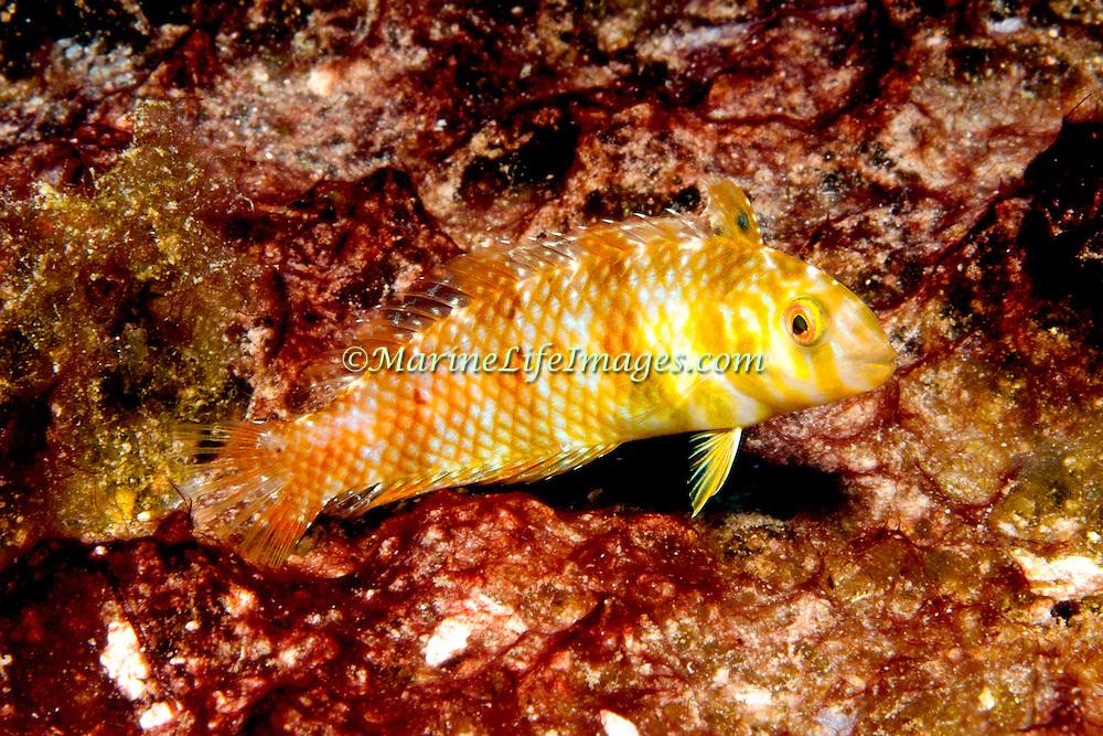 Green Razorfish inhabit shallow areas of sand and rubble in Tropical West Atlantic; picture taken Roatan, Honduras.