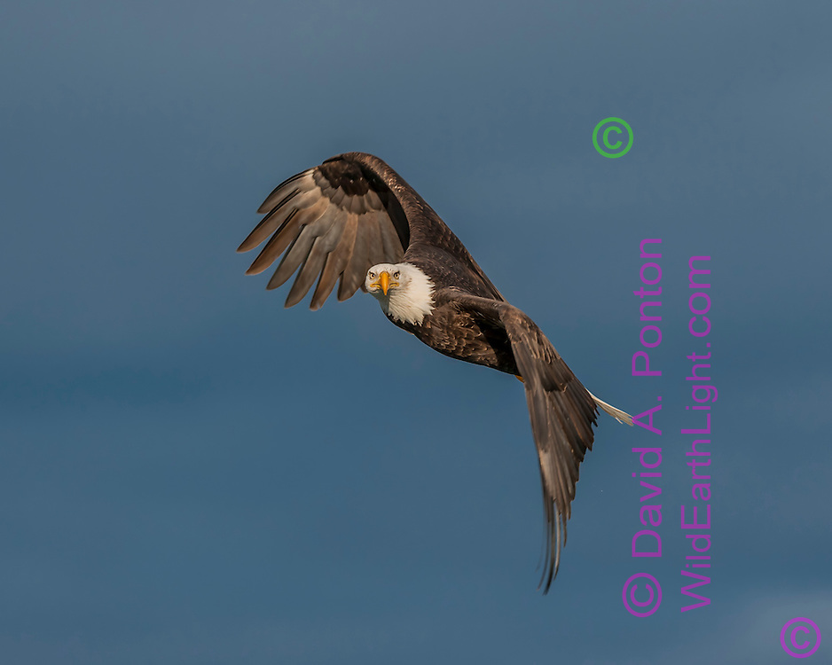Bald Eagle in flight, banking into a turn, looking intently at viewer, stormy sky background, © David A. Ponton