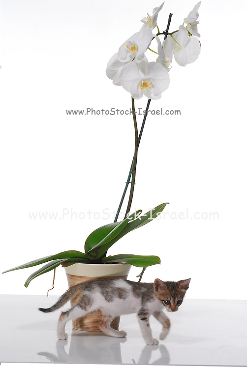 White Phaleanopsis Orchid on white background with kitten