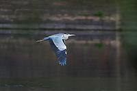 Grey Heron (Ardea cinerea) flying at the city walls of Pont-du-Chateau, Auvergne, France.