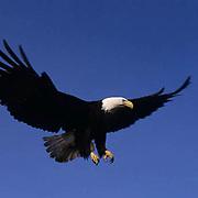 Bald Eagle, (Haliaeetus leucocephalus)  Adult landing on broken tree trunk. Aleutian Islands. Alaska.