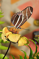 Butterfly, Longwing, Zebra Heliconian, Heliconius charithonia, Nectaring On A Yellow Flower