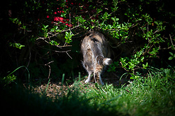 Domestic cat investigating something under a hedgerow, Staffordshire, England, UK.<br /> Photo: Ed Maynard<br /> 07976 239803<br /> www.edmaynard.com