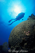 diver and giant brain coral, Colpophyllia natans, Molasses Reef, Florida Keys National Marine Sanctuary, Key Largo, Florida ( Western Atlantic Ocean )  MR 79