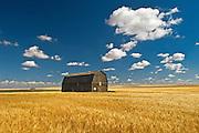 Duram wheat and barn <br /> Liebenthal<br /> Saskatchewan<br /> Canada