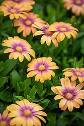 Osteospermum Serenity 'Blushing Beauty'