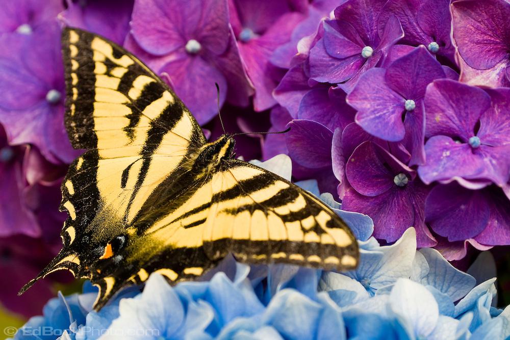 Western Tiger Swallowtail butterfly (Papilio rutulus) on Nikko Blue Hydrangea (Hydrangea macrophylla)