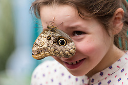 © Licensed to London News Pictures. 31/03/2015. London, UK. Sara Johnson (aged 9) with an owl butterfly on her face at the Sensational Butterflies exhibition at the Natural History Museum in London. The Sensational butterflies exhibition runs at the Natural History Museum in London from 2 April 2015 to 13 September 2015. Photo credit : Vickie Flores/LNP
