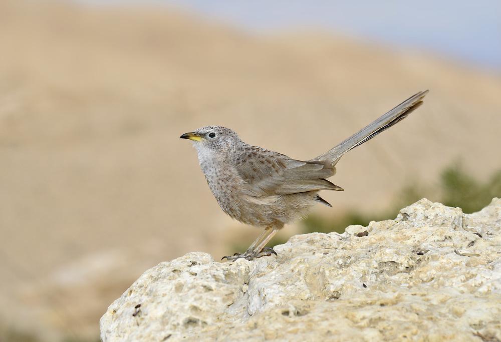 Arabian babbler - Turdoides squamiceps