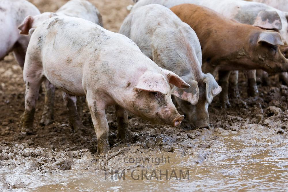 Gloucester Old Spot pigs, Gloucestershire, United Kingdom