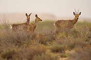Siberian roe deer, Capreolus pygargus, one male and two females found in Inner Mongolia, China