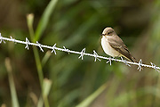 Spotted flycatcher. Arne, Dorset, UK.