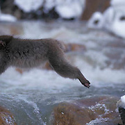 Snow Monkey or Japanese Red-faced Macaque, (Macaca fuscata) Jumping at hot springs. Japan.