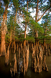 Stock photo of Bald Cypress - Taxodium distichum - knees in water - Trinity Delta, Lake Charlotte, Wallisville, Chambers County, TX,