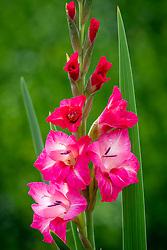 Gladiolus 'Flevo Gypsy'
