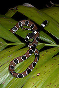 Ornate Thirst Snake or Snail Eating Snake, Dipsas catesbyi, Nauapa River, Iquitos, Peru, Amazon Jungle, nocturnal, specialist jaws pulls snails from shell, egg laying, leaf, brown and black patterned skin. .South America....