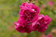 Rosa at Newby Hall, Ripon, North Yorkshire, UK