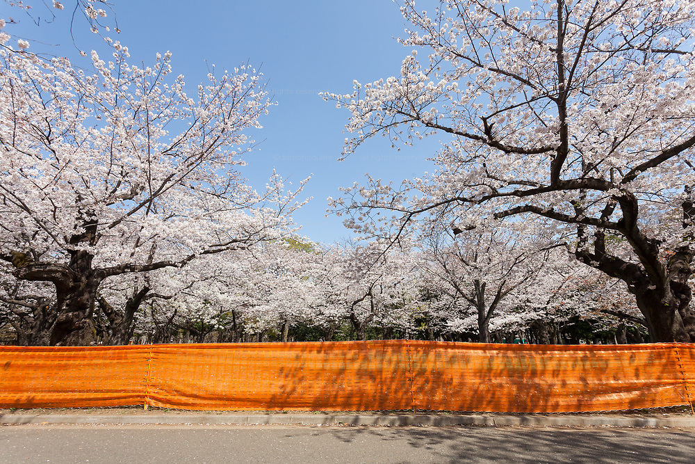 A fence as part of the measures to avoid people gathering for Hanami parties under the cherry blossoms in Yoyogi Park, Shibuya, Tokyo, Japan. Friday March 26th 2021, Though Tokyo lifted its Coronavirus State of  Emergency at midnight on March 21st the annual Hanami , cherry blossom parties and other gatherings of large number of people are still limited and discouraged.