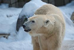 04.01.2011, Wuppertal, GER, Outdoor, Zoo  . im Bild der Eisbaerin Vilma aus dem Wuppertaler Zoo beobachtet die Zuschauer aufmerksam.  ..Foto © nph Freund       ****** out ouf GER ******
