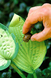 Picking snails off hostas