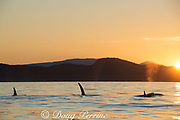 transient orcas or killer whales, Orcinus orca, at sunset, Gulf Islands, Strait of George, east of Vancouver Island, British Columbia, Canada, and north of San Juan Islands, Washington, USA