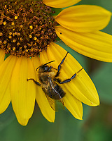 Bumble Bee on a Sunflower. Image taken with a Leica SL2 camera and 24-90 mm lens.