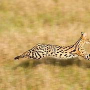 Serval (Felis serval) Masai Mara Game Reserve. Kenya. Africa.
