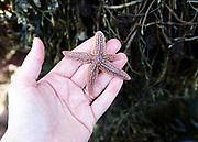 Northern Sea Star (Asterias amurensis)