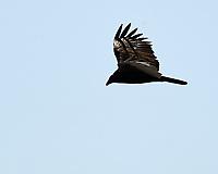Turkey Vulture (Cathartes aura). Black Point Wildlife Drive, Merritt Island Wildlife Refuge. Merritt Island, Brevard County, Florida. Image taken with a Nikon D3 camera and 80-400 mm VR lens.