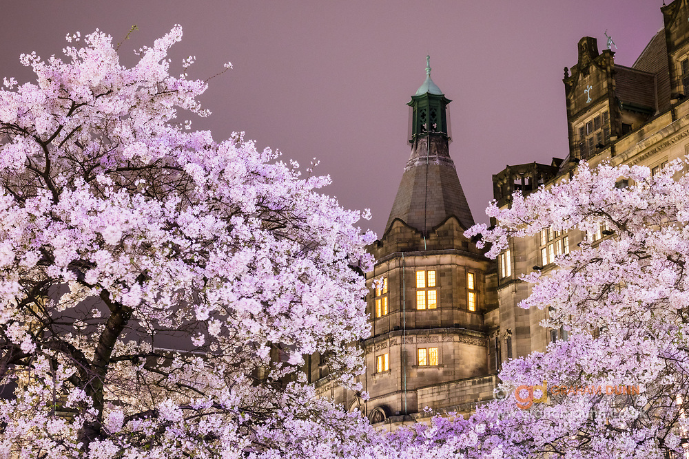 A view of Sheffield Town Hall through pink blossom. Captured at night with a matching pink hue to the sky. A spring-time urban landscape scene in South Yorkshire, England, UK.