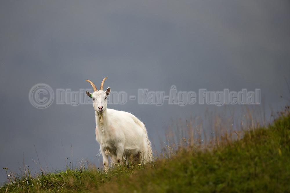 A goat in the grass, with blue backgroand   En geit i gresset med blå bakgrunn.
