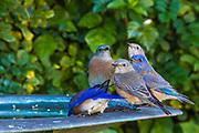 Group of Western Bluebirds Male and Female at a Backyard Birdbath, La Mesa, California