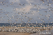 rising spring tide floods across the cay, threatening a breeding colony of crested terns, Sterna bergii or Thalasseus bergii; eggs at right side of colony are already submerged in water; Turu Cay, Torres Straits, Queensland, Australia