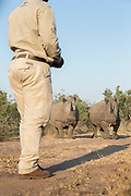 View of nature guide stands before pair of White Rhinos on savannah, Mkhaya Game Reserve, Eswatini